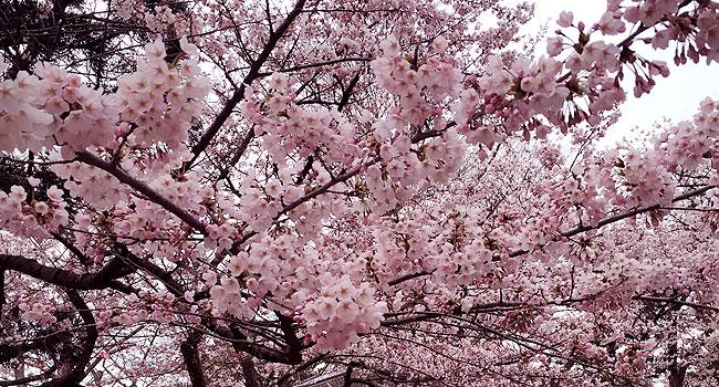 sensyu_spring11